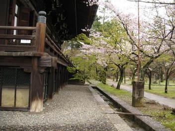 12-sakura-kyoto24.JPG