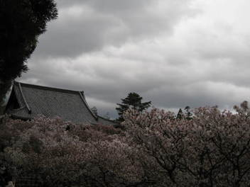 12-sakura-kyoto377.JPG