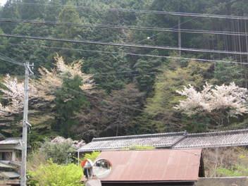 12-sakura-kyoto403.JPG