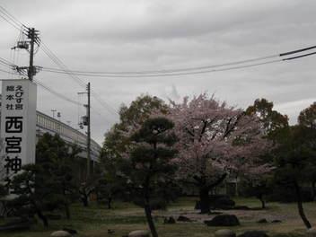 12-sakura-nishi-jinja7.JPG