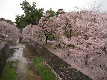 12-sakura-syukugawa2.JPG