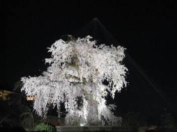 13-sakura-kyoto139.JPG