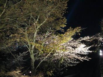 13-sakura-kyoto151.JPG