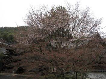 13-sakura-kyoto242.JPG