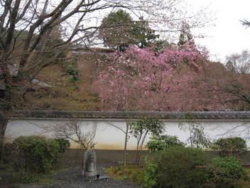 13-sakura-kyoto245.JPG
