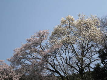 13-sakura-kyoto37.JPG