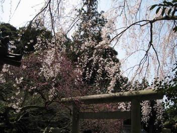 13-sakura-kyoto58.JPG