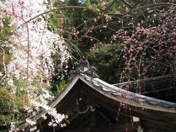 13-sakura-kyoto60.JPG