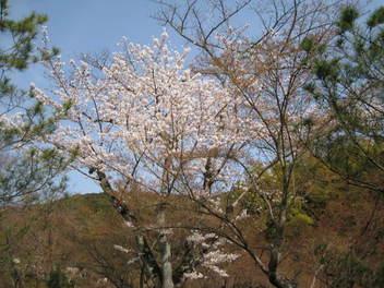 13-sakura-kyoto79.JPG