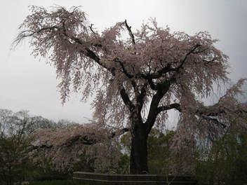 15-sakura-kyoto15.JPG