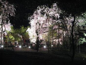 15-sakura-kyoto47.JPG