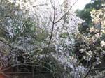 09-yoshino-sakura188.JPG