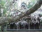 09-yoshino-sakura189.JPG