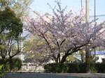 09-syuku-sakura3.JPG
