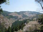 09-yoshino-sakura109.JPG
