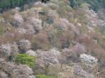 09-yoshino-sakura110.JPG