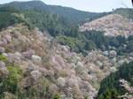 09-yoshino-sakura111.JPG
