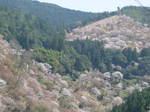 09-yoshino-sakura113.JPG