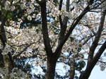 09-yoshino-sakura116.JPG