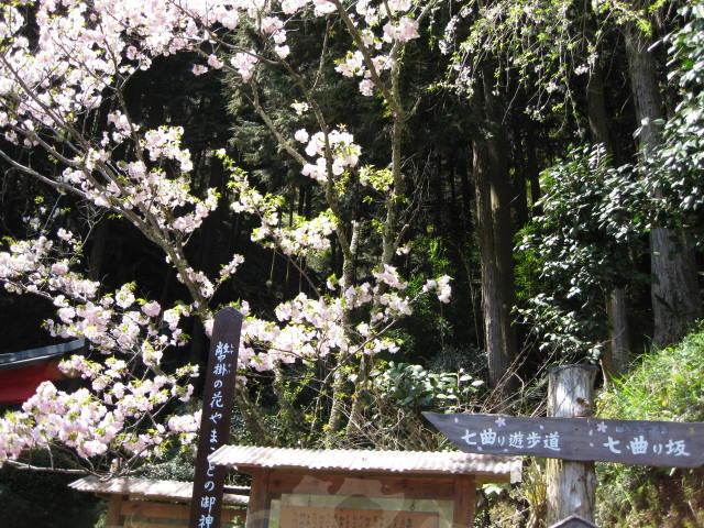 09-yoshino-sakura14.JPG