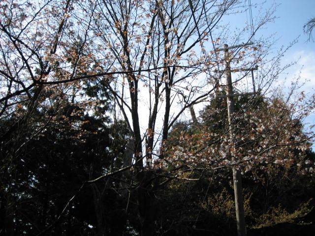 09-yoshino-sakura165.JPG