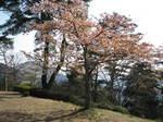 09-yoshino-sakura171.JPG