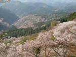 09-yoshino-sakura206.JPG