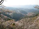 09-yoshino-sakura209.JPG