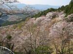 09-yoshino-sakura210.JPG