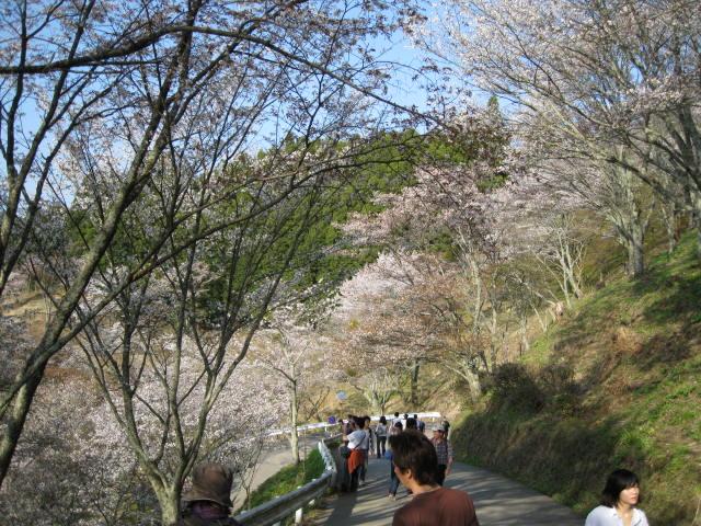 09-yoshino-sakura214.JPG