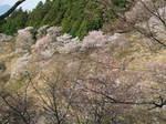 09-yoshino-sakura220.JPG