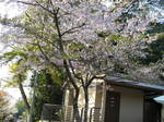 09-yoshino-sakura232.JPG