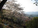 09-yoshino-sakura233.JPG