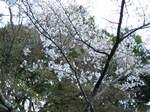 09-yoshino-sakura237.JPG