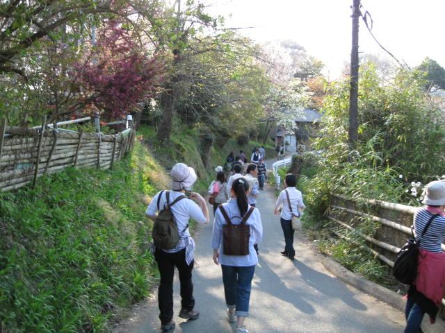 09-yoshino-sakura245.JPG