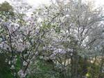 09-yoshino-sakura248.JPG