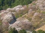 09-yoshino-sakura250.JPG