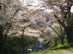 09-yoshino-sakura256.JPG