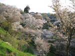 09-yoshino-sakura259.JPG