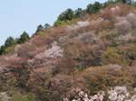 09-yoshino-sakura27.JPG