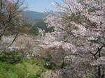 09-yoshino-sakura43.JPG