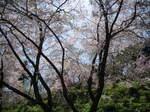 09-yoshino-sakura44.JPG