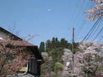 09-yoshino-sakura47.JPG