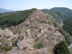 09-yoshino-sakura57.JPG