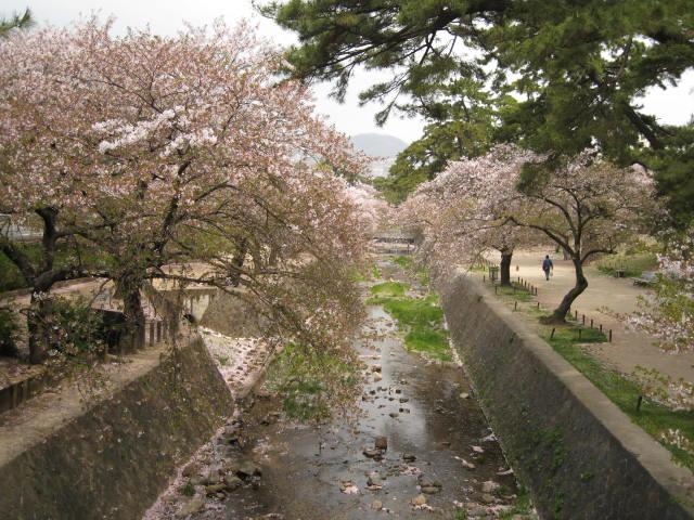 11-nishi-sakura3.JPG