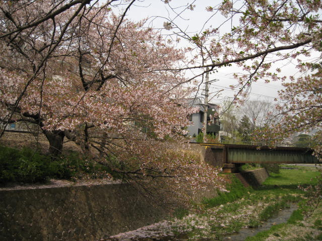 11-nishi-sakura4.JPG