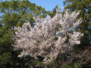 12-sakura-kyoto114.JPG