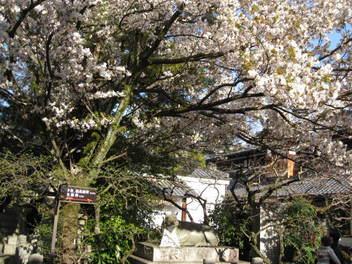 12-sakura-kyoto115.JPG