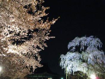12-sakura-kyoto154.JPG