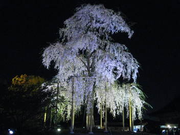 12-sakura-kyoto160.JPG